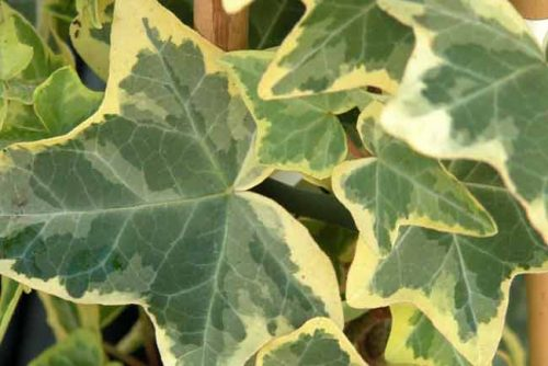 Variegated leaves of Hedera helix 'Goldchild'