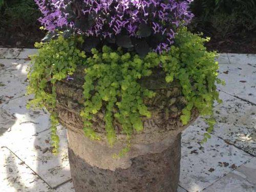 Lysimachia nummularia in pot - Weatherstaff PlantingPlanner