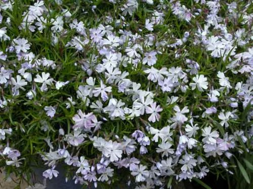 Phlox subulata 'Emerald Cushion Blue' - a spiller plant for garden pots