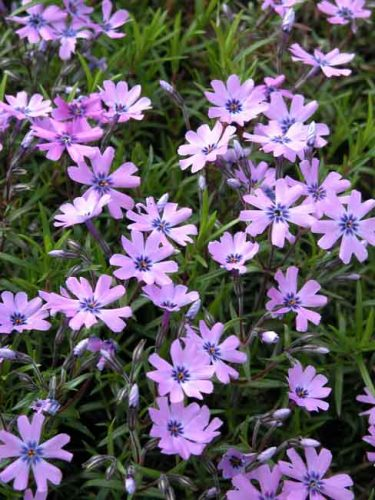 Phlox subulata 'Purple Beauty' - moss phlox for containers