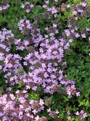 Flowers of Thymus 'Bressingham'