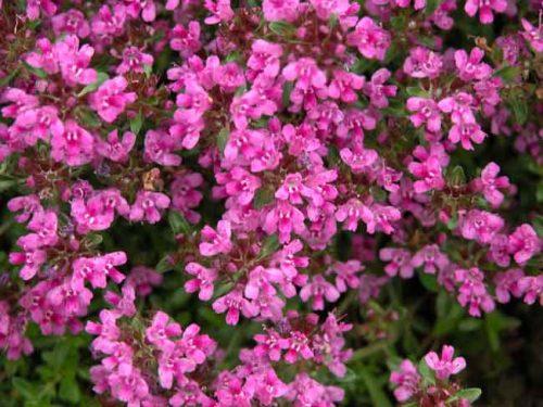 Magenta flowers of Thymus Coccineus Group
