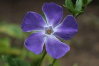 Close up of blue Vinca minor flower