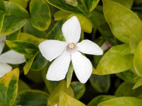 White flowers of Vinca minor f. alba 'Alba variegata'