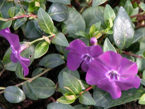 Plum-purple flowers of Vinca minor Atropurpurea