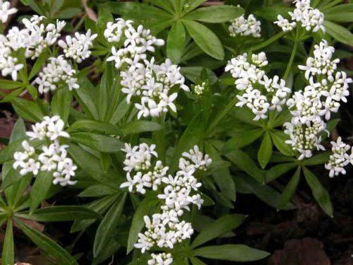 Galium odoratum for woodland garden groundcover