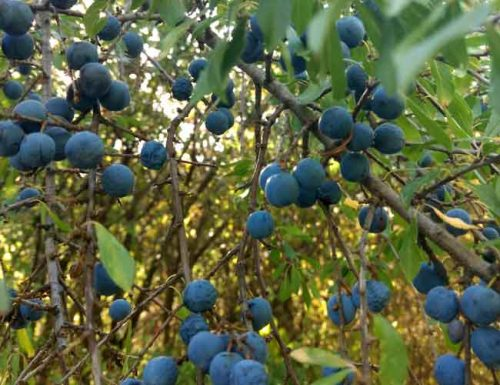 Image of a punus spinosa bush with sloes