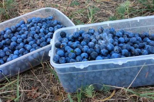 Containers full of harvested sloes