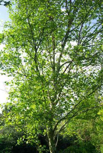 Betula pendula 'Fastigiata'