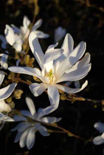 Starry flowers of Magnolia stellata