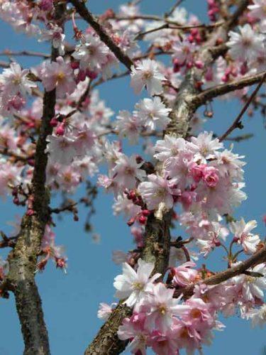 Prunus subhirtella 'Autumnalis Rosea' cherry blossom