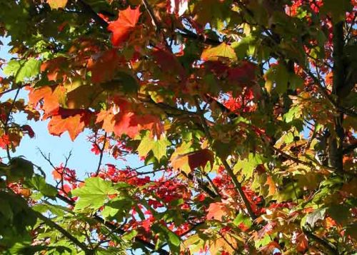 Autumn leaves against a blue sky - Weatherstaff Blog