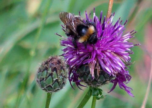 Bee on centaurea nigra