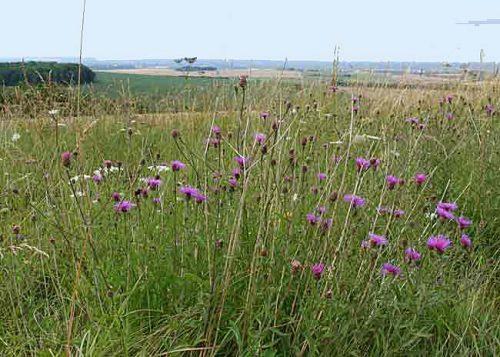 Purple wildflowers on the Ridgeway