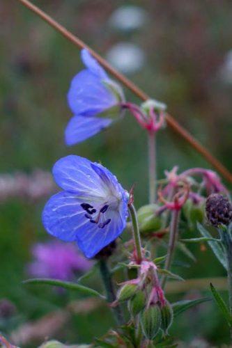 Blue-violet flowers of Geranium pratense