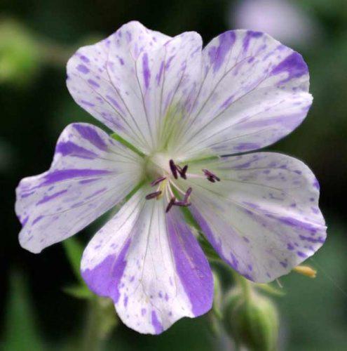 Close-up of Geranium pratense Striatum