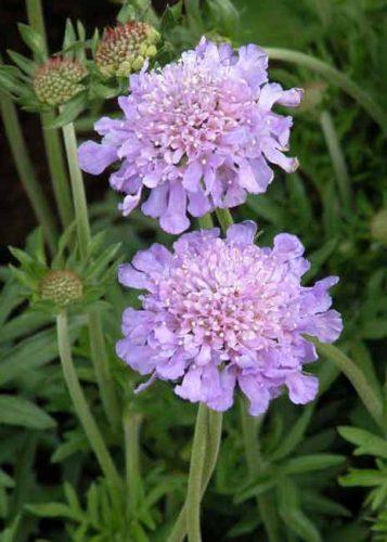 Scabiosa flower for wildlife gardening