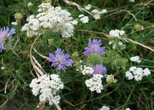 Purple scabious and white yarrow