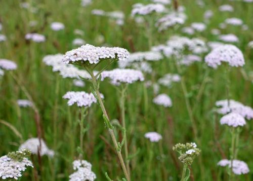 White common yarrow on the Ridgeway