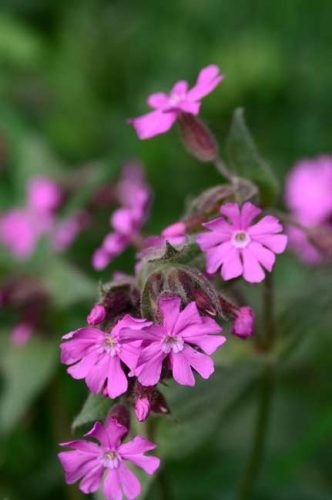 Rose-pink flowers of Silene dioica