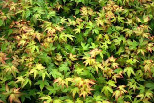 Foliage of Acer palmatum 'Chiyo-hime'