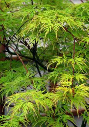 Acer palmatum 'Dissectum Seiryu'