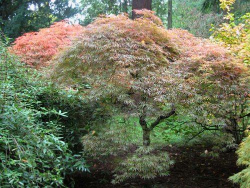 Acer palmatum Ornatum in woodland
