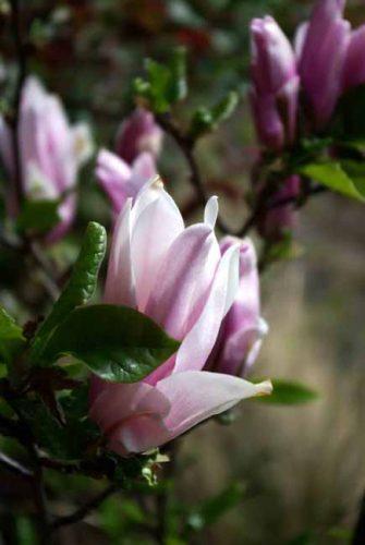 Flower of Magnolia Susan