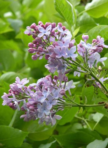 Pale blue flowers of Syringa vulgaris 'Firmament'