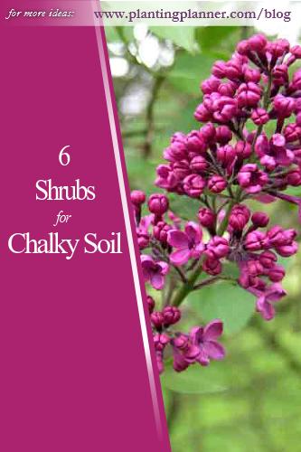 6 Shrubs for Chalky Soil - from Weatherstaff garden design software