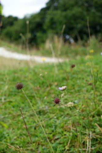 Wildflowers bordering a chalk path