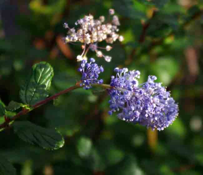 Ceanothus Autumnal Blue - shrub for chalk