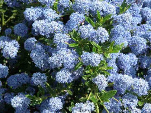 Ceanothus Puget Blue - shrub for chalk gardens