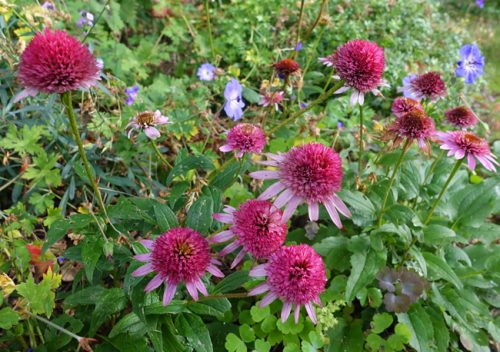 Pink echinacea with geranium Rozanne