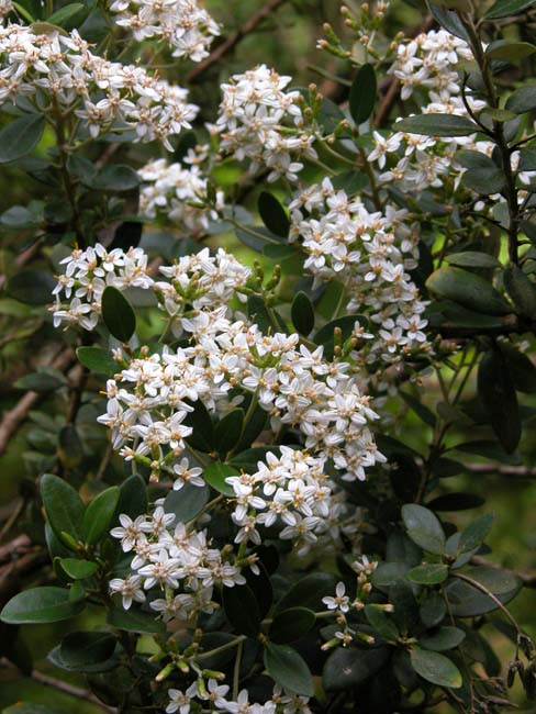 White flowers of Olearia x haastii