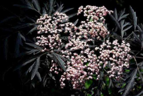 Black leaves and flowers of Sambucus Eva